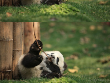 Daycare for pandas actually exists