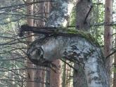 Horned birch
