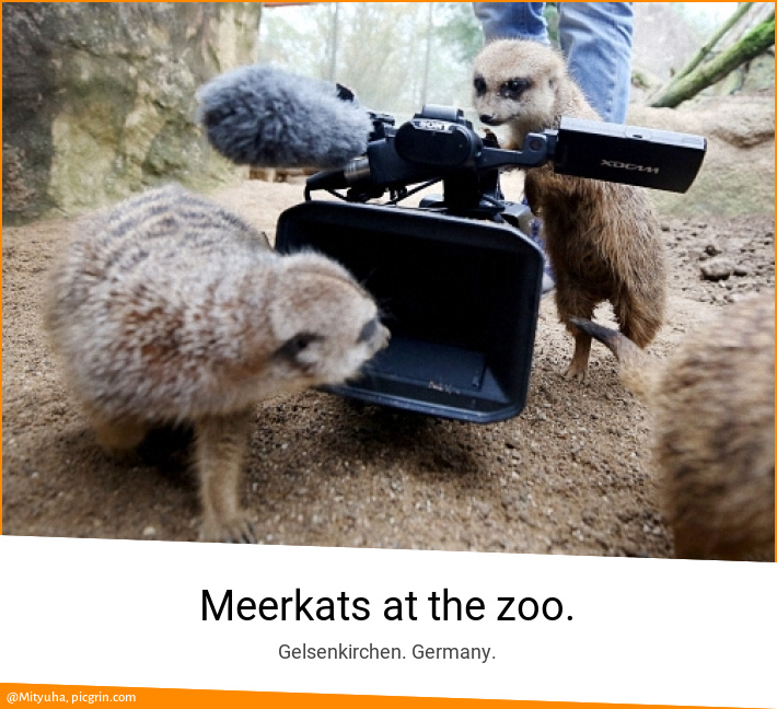 Meerkats at the zoo.