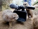 Meerkats at the zoo.